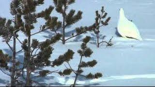 Охота на куропатку зимой видео
