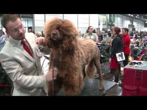 Portuguese Water Dog in World dog show 2017