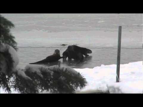 Upper Klamath Lake River Otters 01 (hi-res).wmv