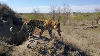 Leopard hunting warthog.