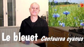 Le bleuet (Centaurea cyanus) : fatigue des yeux, conjonctivite