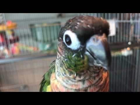 Green Cheek Conure Care pt.1
