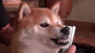 Shiba-Dog Taro お顔 ブラッシング ちょい嫌い! Shiba-Dog Face brushing