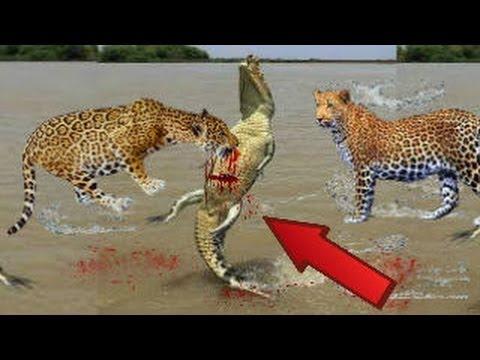 JAGUAR vs CROCODİLE ►► Real Fight – Grizzly Bear Wolf Mongoose Cobra Snake Puma Cougar Mountain Lion