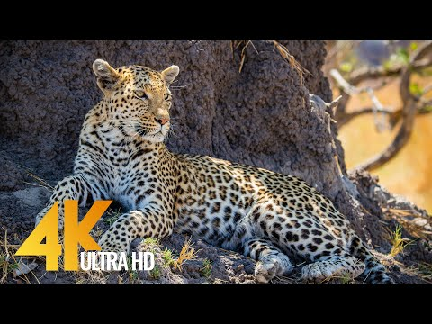 4K Wildlife in Africa - Leopards & Cheetahs - Big Cats of Africa 3,5 HOUR Video