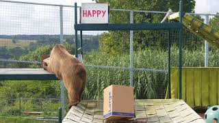Grizzly Bear Gets Special Enrichment For Bear Day