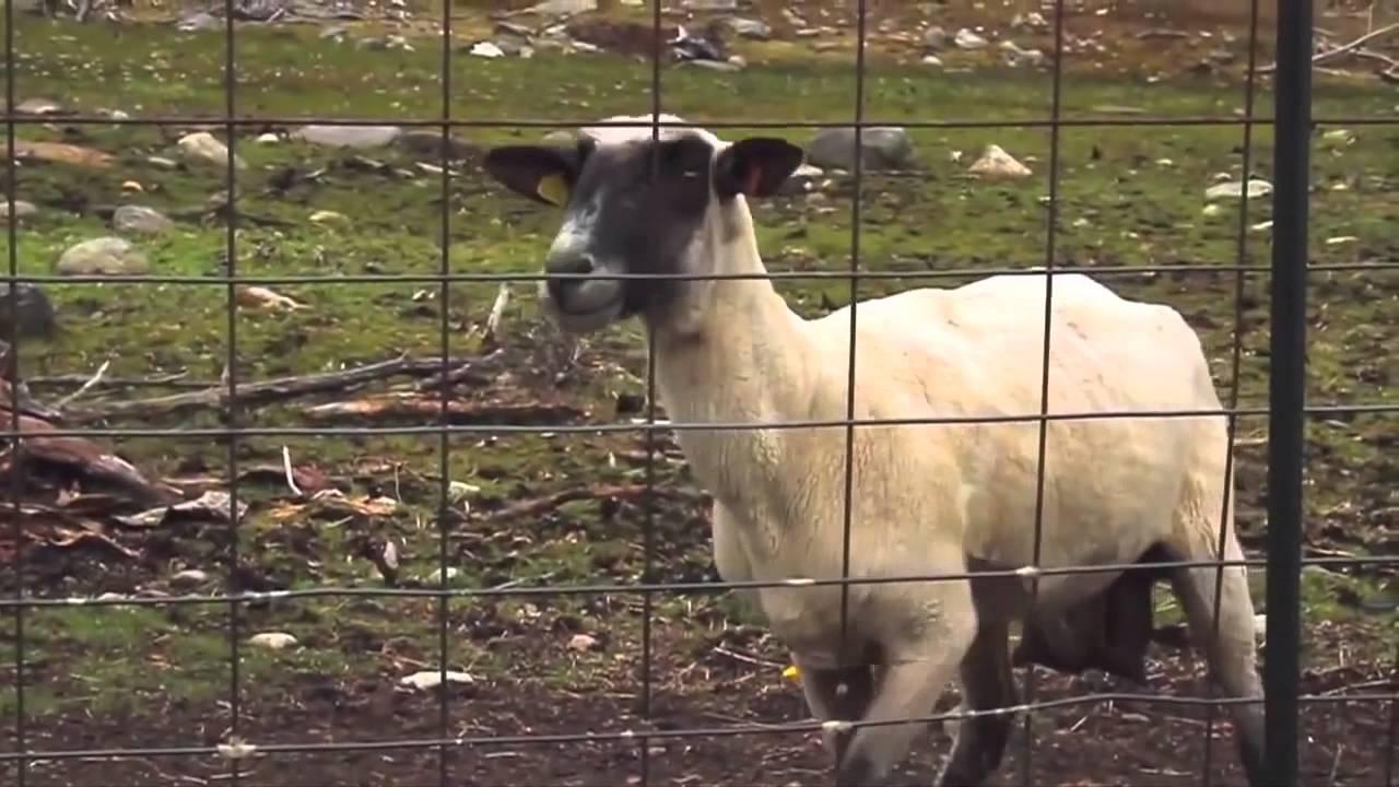 Goat Scream - Origine Meme (HD) - YouTube for Happy Sheep Gif  51ane