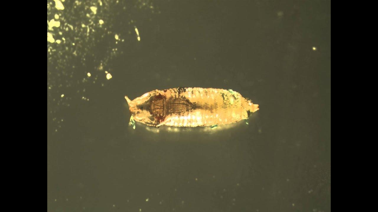 Fruit fly pupa - photo#19