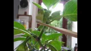 Self Pollination Chili Peppers Capsicum.wmv