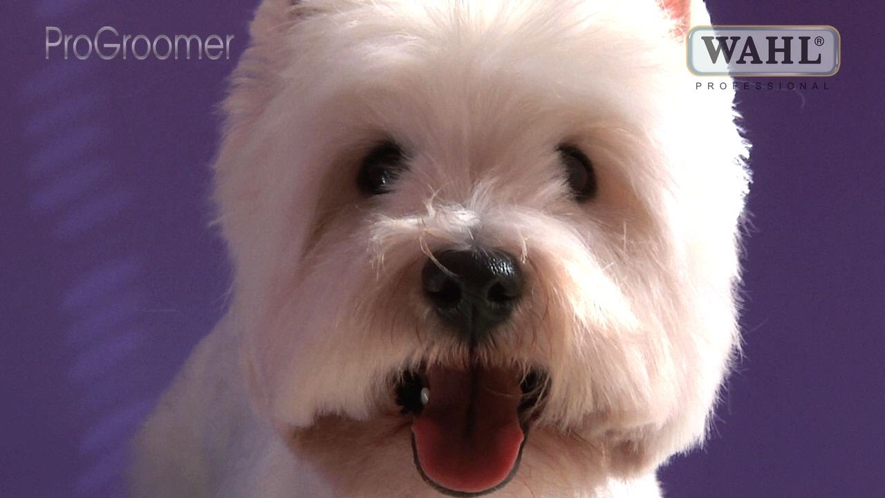 West Highland White Terrier Pet Trim