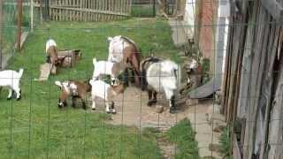 Kůzlata 1 (Holandská zakrslá koza)