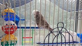 Волнистый попугай Чех - наш новый член семьи
