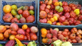Как обрезать  листья томатов в АВГУСТЕ и собирать томаты вагонами