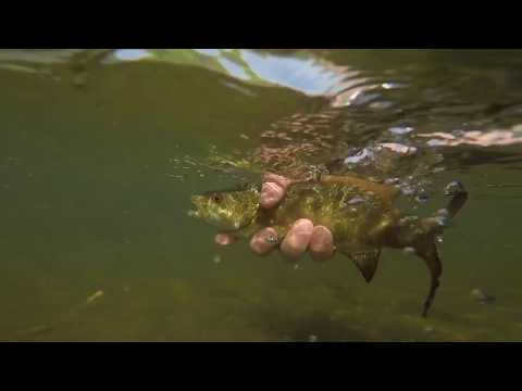 Smallmouth | Fly Fishing Little Pigeon River Sevierville