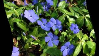 видео Выращивание барвинка в саду (60 фото): из семян, в открытом грунте, на даче, сорта, описание, посадка, подкормка, уход