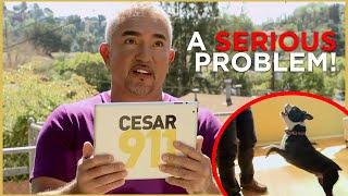 Cesar Faces a HYPERACTIVE dog (Cesar 911 Shorts)