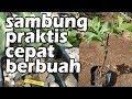 CARA PRAKTIS SAMBUNG PUCUK JAMBU KRISTAL AGAR CEPAT BERBUAH