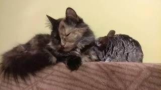 Funny cat and chinchilla