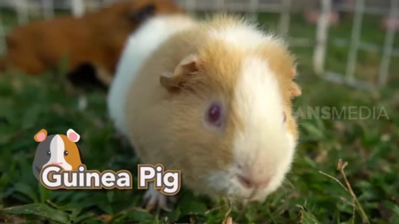 GUINEA PIG Yang Imut dan Menggemaskan | TAU GAK SIH (12/08/20)