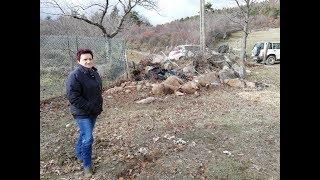 St Félicien (07): 40 brebis tuées par une meute de chiens