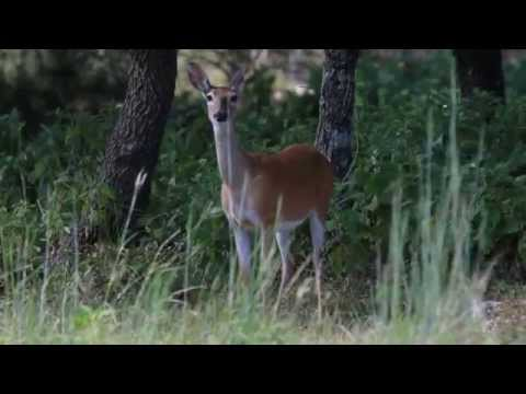 White-Tailed Deer Blowing and Snorting with Butterfly