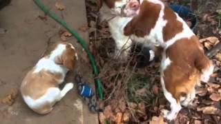 Basic Brittany Spaniel Care