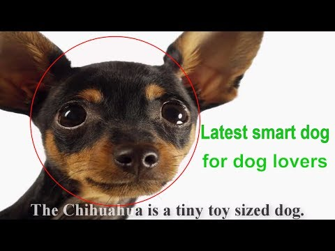 Get Better The Chihuahua Dog Results - the pet collective smart dog