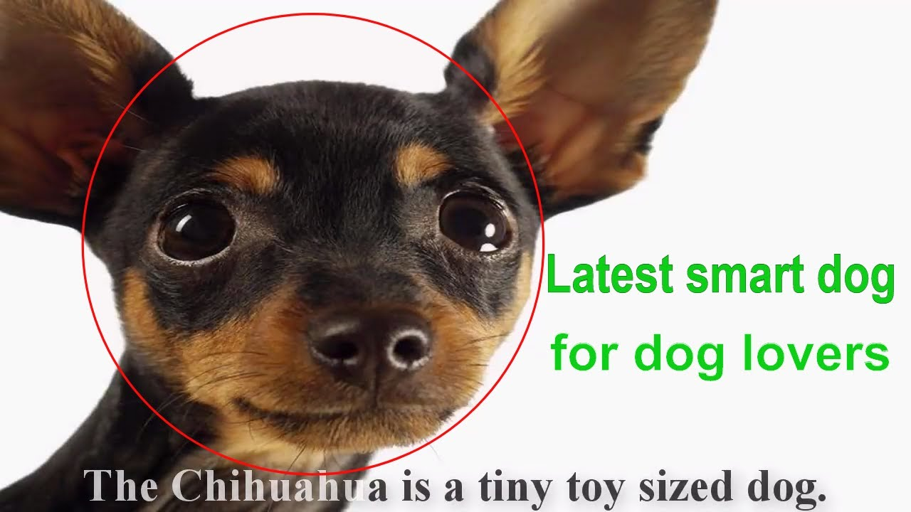 R Chihuahuas Smart Get Better The Chihuah...