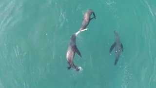 Feeding Sea Lions Eat Shark! Filmed with a Drone