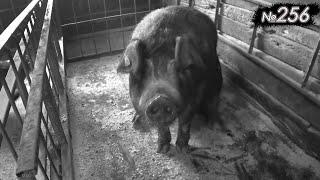 Свиноматка после 3 опоросов / ТасиБоба родила