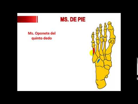 MUSCULOS DE PIE - YouTube