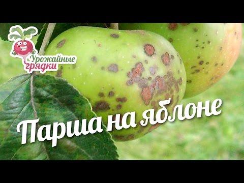 Парша на яблоне #urozhainye_gryadki