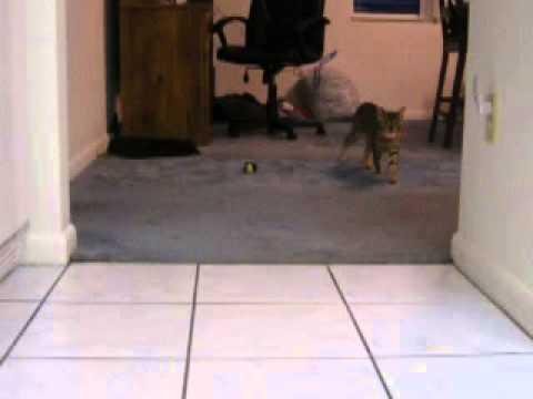 Savannah Manx Cat Playing Fetch