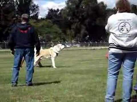 UKC TOTAL DOG - Central Asian Shepherd