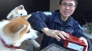明けましておめでとうございます!秋田犬がお節料理食べました!