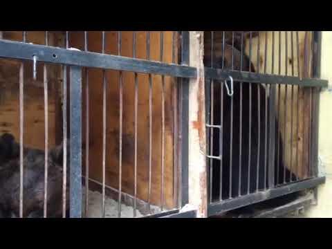 В Сызрань приехали медведи