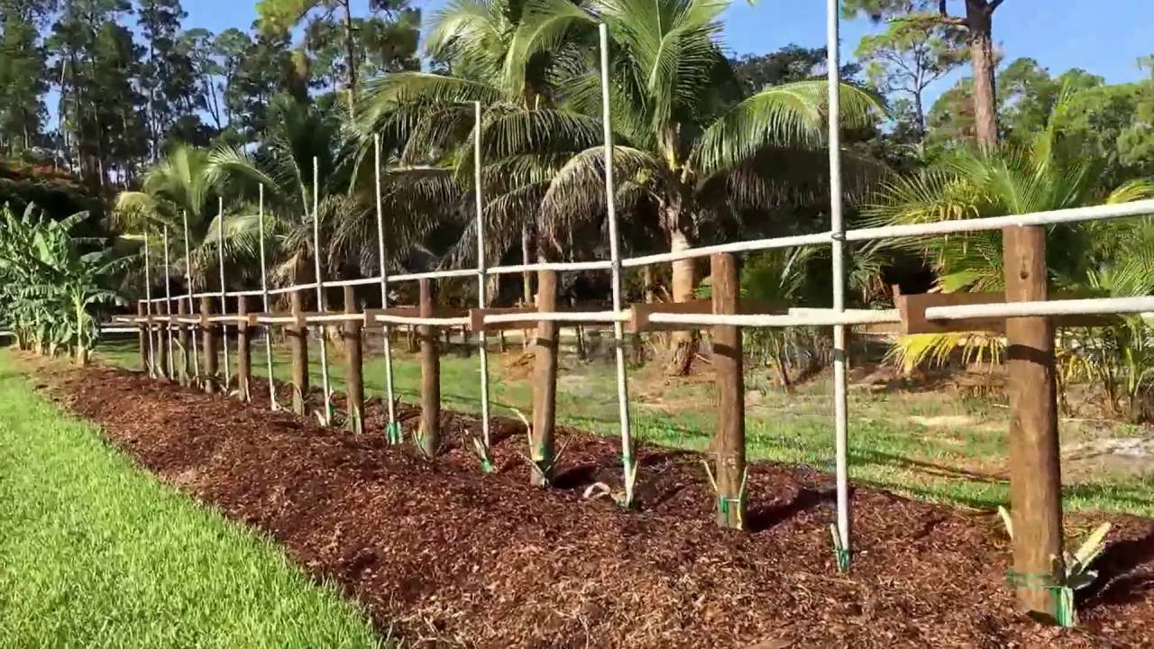 Tropical Fruit Trees Starting To Produce New Heavy Duty Dragon Trellis