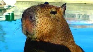 Cute baby capybaras