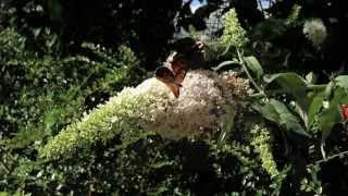 Vlinders op Buddleja