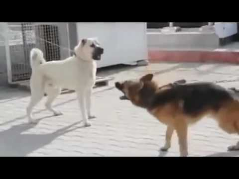 Vicious Kangal VS Dominant German Shepherd