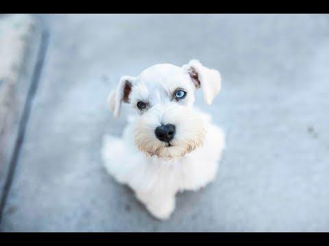 miniature-schnauzer-puppy-is-so-cute!!