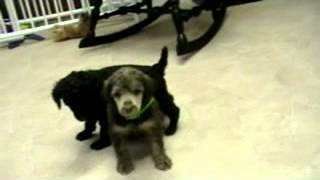 Akc Brown Standard Poodle Puppies For Sale