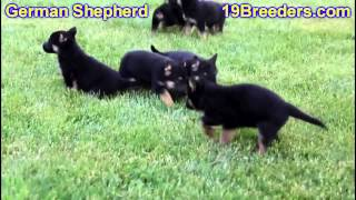German Shepherd, Puppies, For, Sale, In, South Bend, Indiana, County, In, Allen, Hamilton, St  Josep