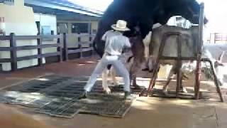 Coleta de sêmen em bovino da Raça Holandesa
