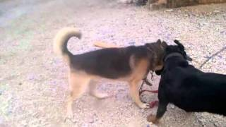 German Shepherd VS ROT