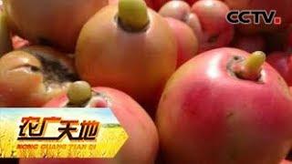 《农广天地》 20190701 五招连环用 番茄畸形去无踪  CCTV农业