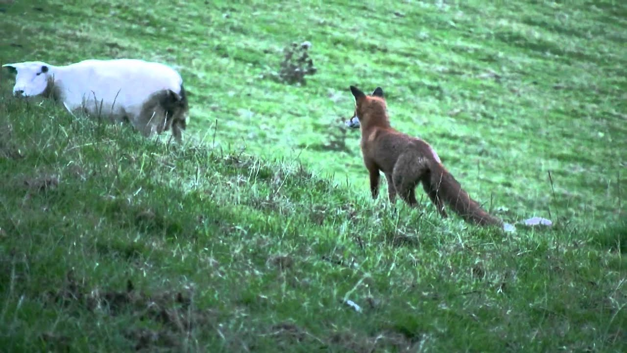 Image result for Fox and sheep