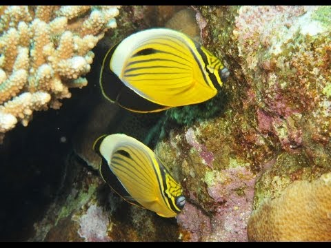 Exquisite Butterfly Fish Of The Red Sea