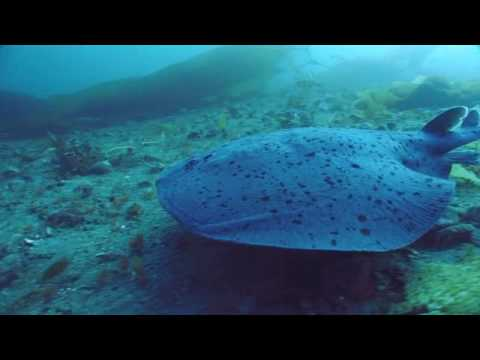 Electric Ray ATTACK! - Pacific Torpedo Ray