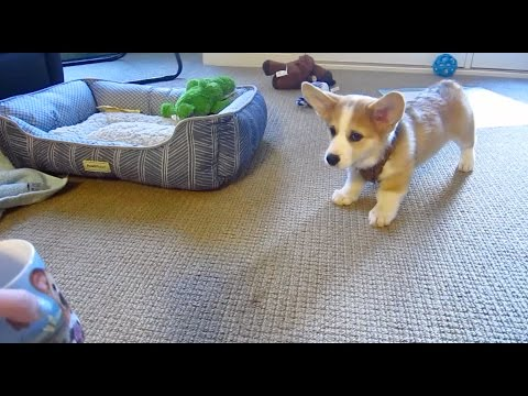 CORGI PUPPY SCARED OF CORGI MUG!!